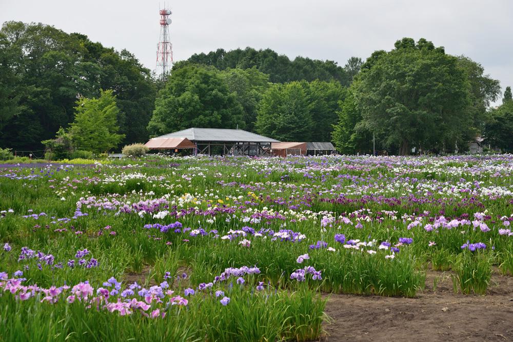 八紘学園花菖蒲園