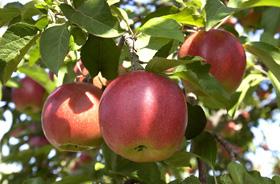環状通りリンゴ並木